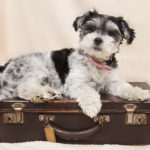 Como viajar de carro e transportar animais de estimação