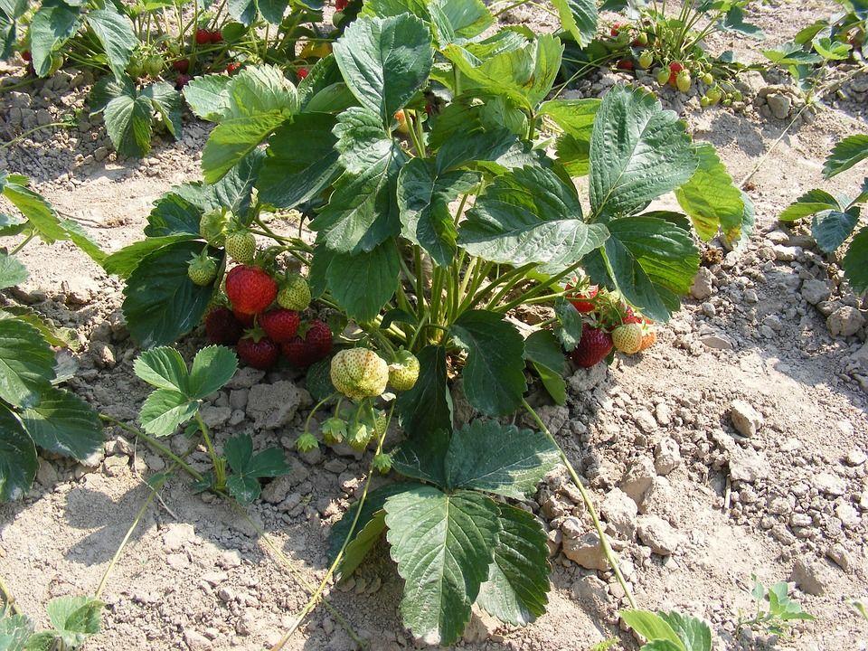 Arbusto de morango