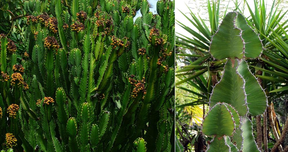 Euphorbia trigona, árvore africana do leite