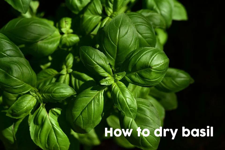 Como secar manjericão