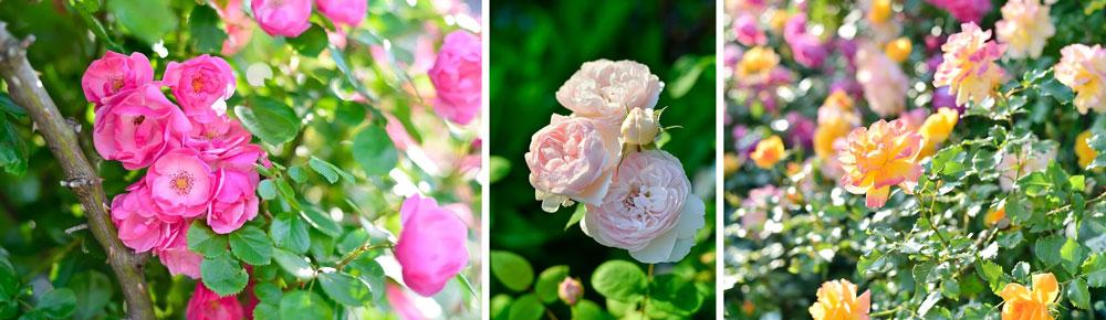 Como cultivar rosas a partir de sementes