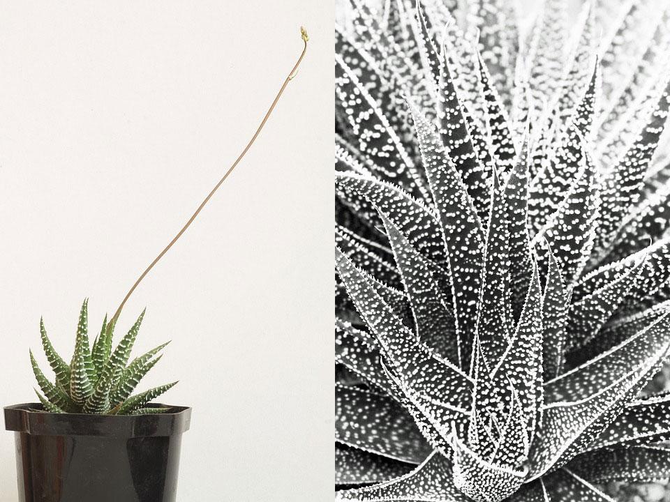 Planta pérola Haworthia