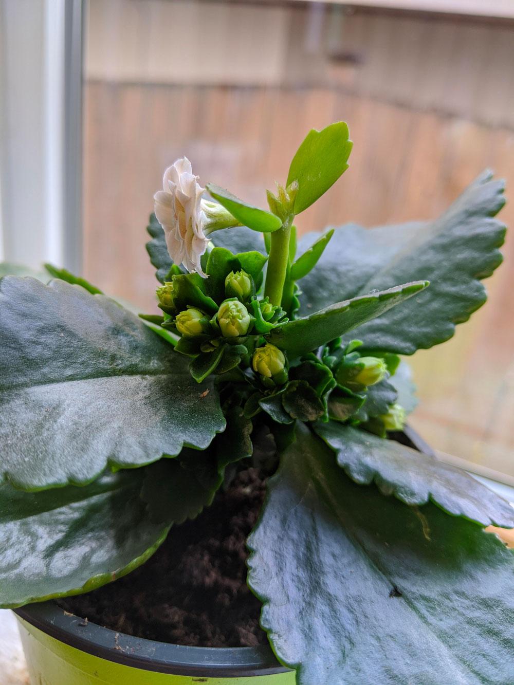 Cuidado com as plantas Calandiva