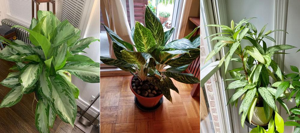 Planta perene chinesa
