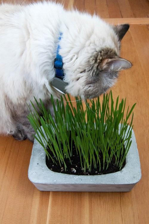 Plantadores de erva-gato