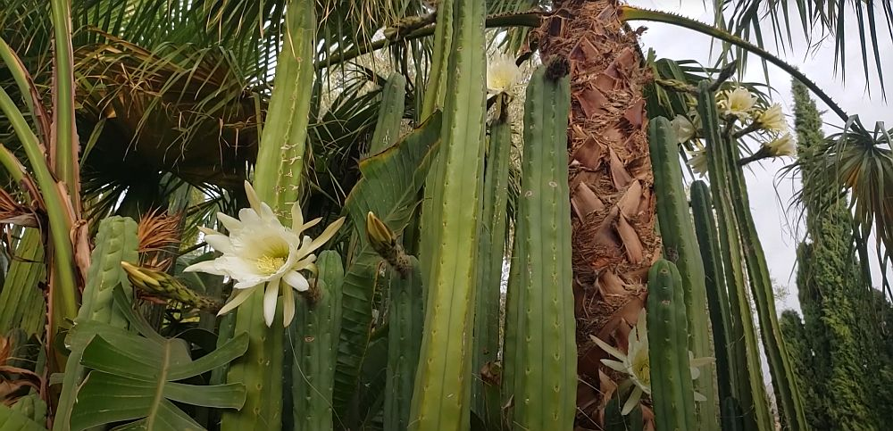 Flor de cacto san pedro