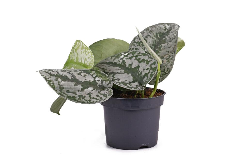 Planta de casa exótica 'scindapsus pictus exotica' ou 'pothos de cetim' com folhas grandes com textura aveludada e padrão de manchas prateadas