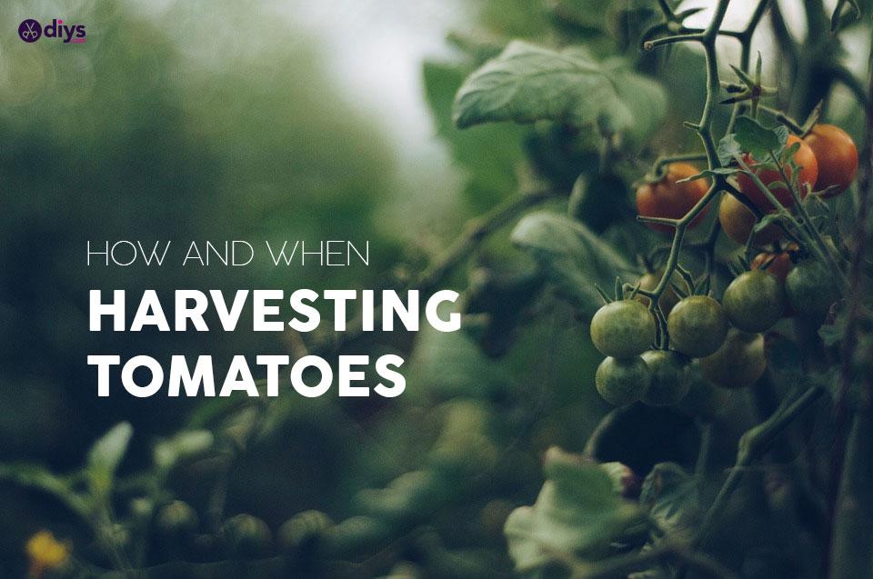 Quando colher tomates - Colheita de tomates
