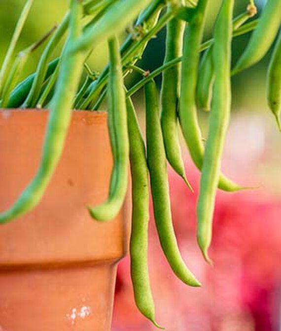 alpendre para colher feijão, vegetais de crescimento rápido