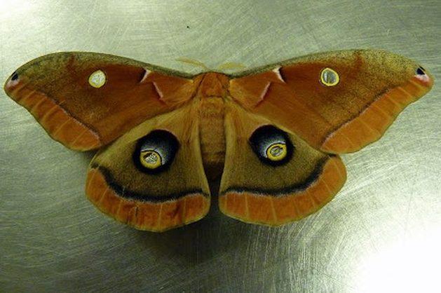 Silk Moth Polyphemus