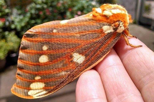 Moths Moths Regal-Moth-K-Gilpin
