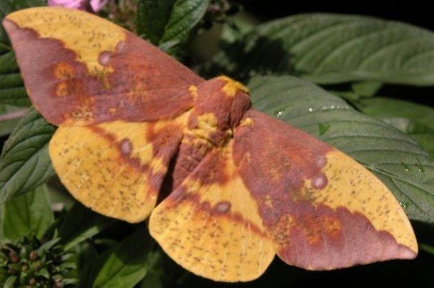 Silk Moths Imperial Moth Kristen Gilpin
