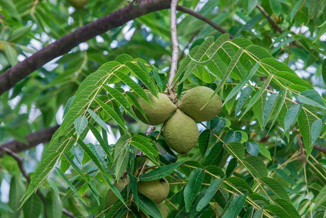 Frutos de noz preta oriental