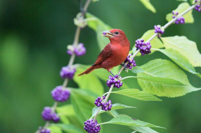 Tanager de verão em beautyberry