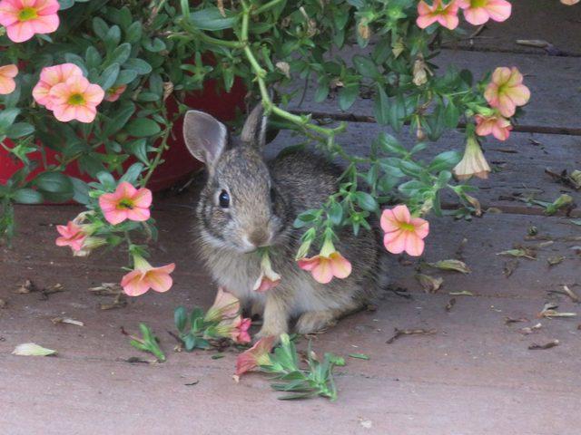 flores resistentes a coelho