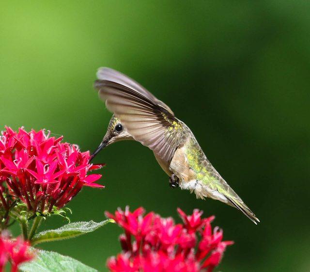 beija-flor e flor de pentas