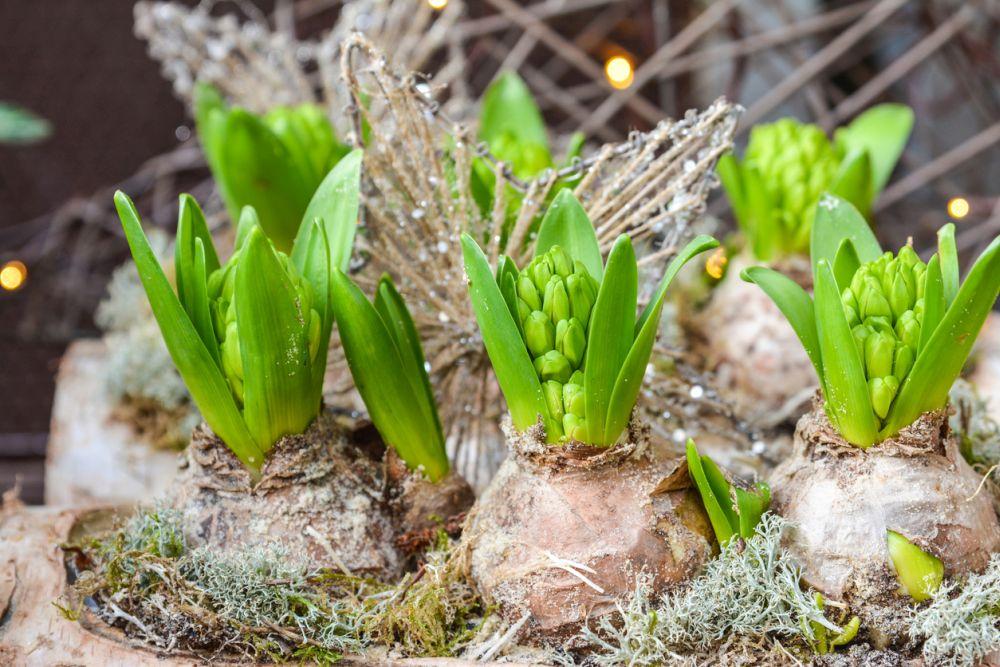 Bulbos de flores de jacinto