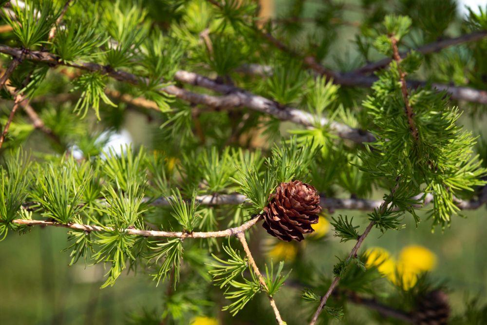 Árvore de lariço