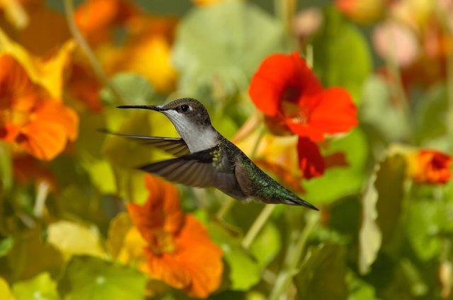 flores de capuchinha de colibri