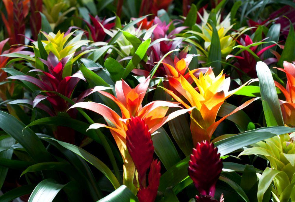 Plantas da Guzmania