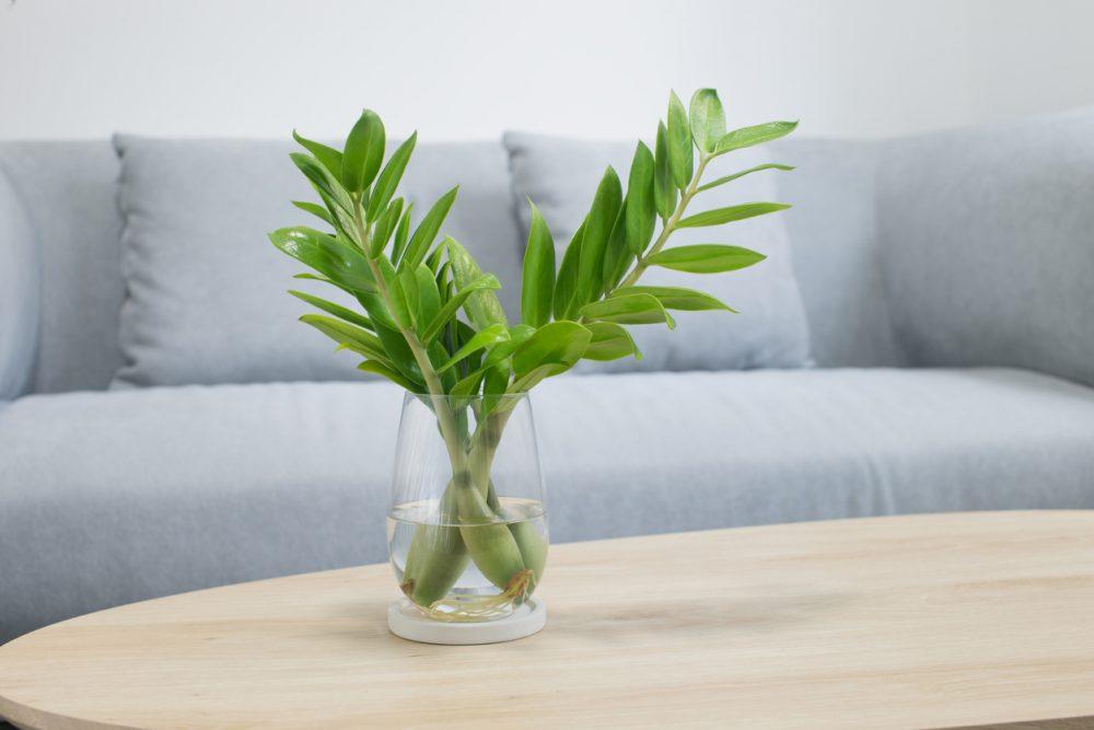 Planta ZZ